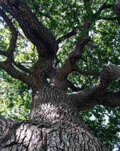 My favourite tree in Old Burying Point Cemetery